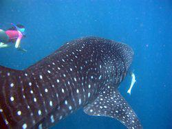 Skin diver with whale shark and remora